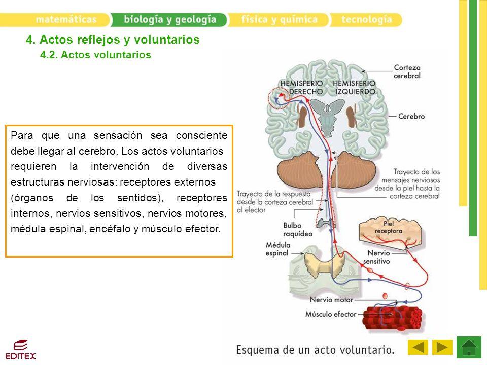4. Actos reflejos y voluntarios 4.2. Actos voluntarios Para que una sensación sea consciente debe llegar al cerebro. Los actos voluntarios requieren l