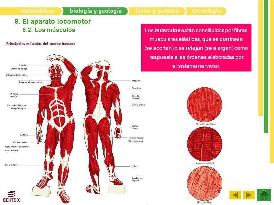 8. El aparato locomotor 8.2. Los músculos Los músculos están constituidos por fibras musculares elásticas, que se contraen (se acortan) o se relajan (