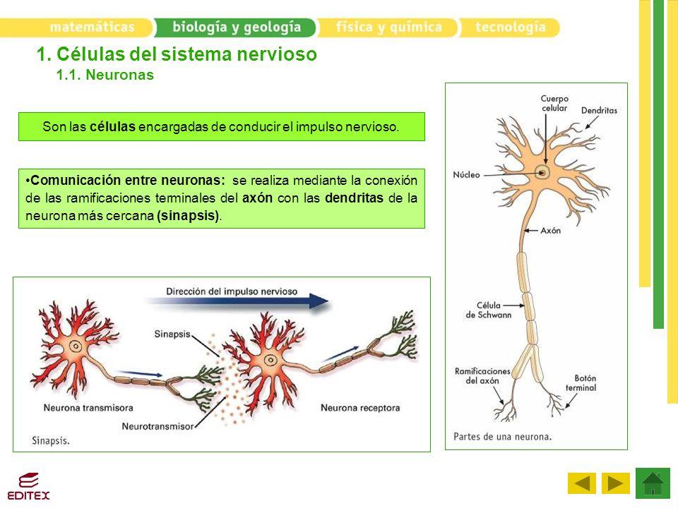 1. Células del sistema nervioso 1.1. Neuronas Son las células encargadas de conducir el impulso nervioso. Comunicación entre neuronas: se realiza medi
