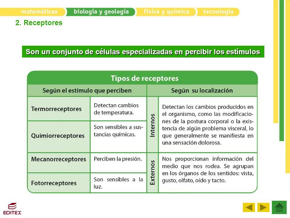 2. Receptores Son un conjunto de células especializadas en percibir los estímulos