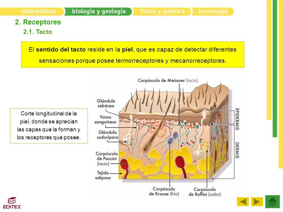2. Receptores 2.1. Tacto El sentido del tacto reside en la piel, que es capaz de detectar diferentes sensaciones porque posee termorreceptores y mecan