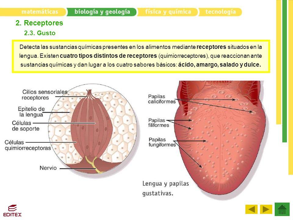 2. Receptores 2.3. Gusto Detecta las sustancias químicas presentes en los alimentos mediante receptores situados en la lengua. Existen cuatro tipos di