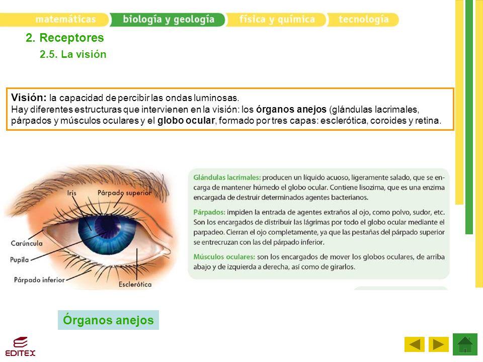 2. Receptores 2.5. La visión Visión: la capacidad de percibir las ondas luminosas. Hay diferentes estructuras que intervienen en la visión: los órgano