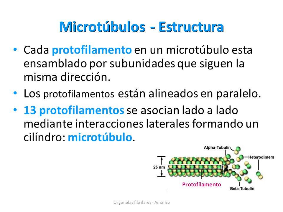 Microtúbulos - Estructura Cada protofilamento en un microtúbulo esta ensamblado por subunidades que siguen la misma dirección. Los protofilamentos est