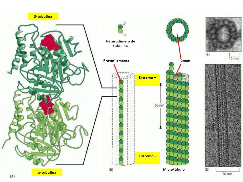 Extremo + Extremo - -tubulina Heterodímero de tubulina Protofilamento Microtúbulo lúmen