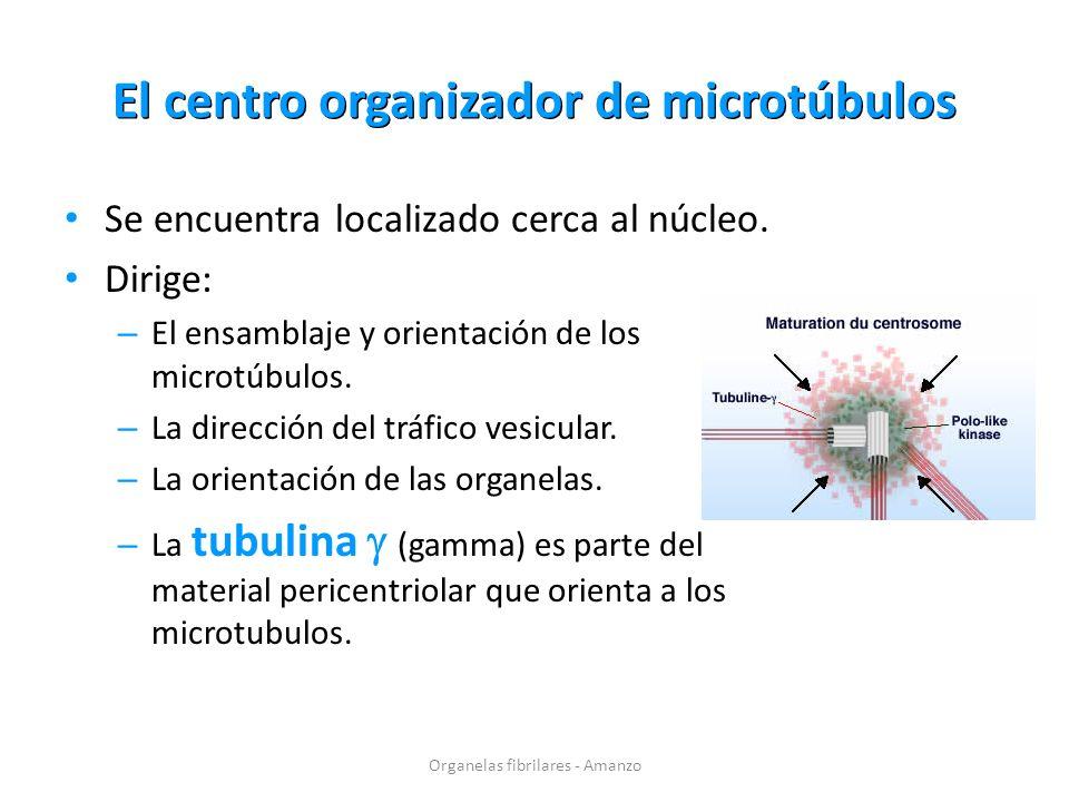 El centro organizador de microtúbulos Se encuentra localizado cerca al núcleo. Dirige: – El ensamblaje y orientación de los microtúbulos. – La direcci