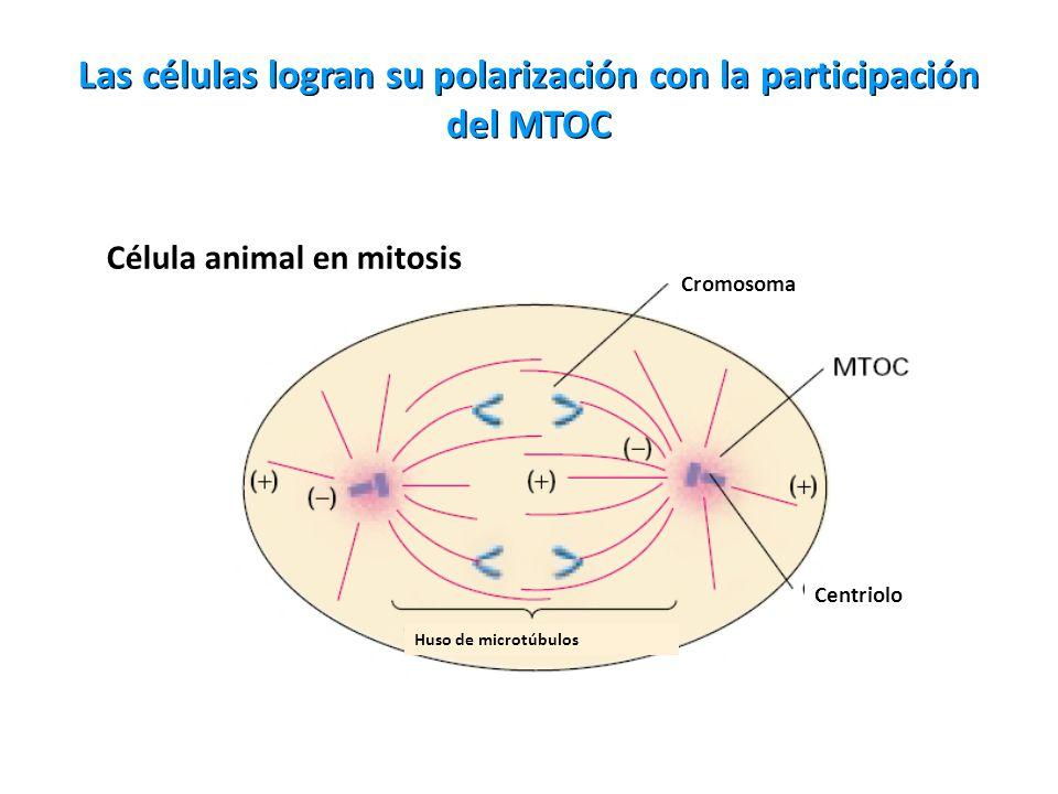 Las células logran su polarización con la participación del MTOC Célula animal en mitosis Cromosoma Centriolo Huso de microtúbulos