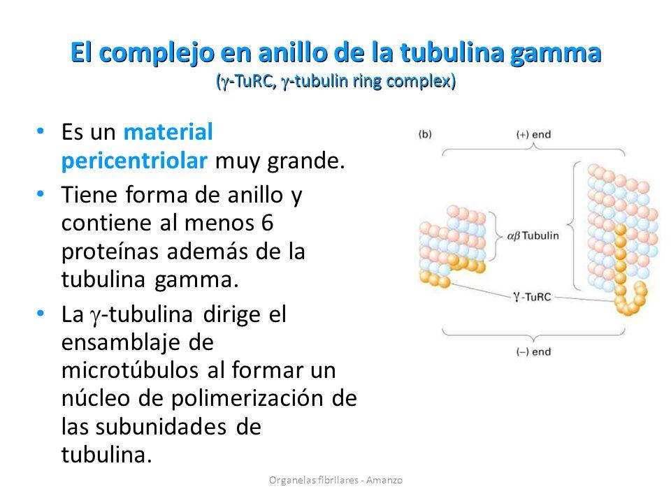 El complejo en anillo de la tubulina gamma ( -TuRC, -tubulin ring complex) Es un material pericentriolar muy grande. Tiene forma de anillo y contiene