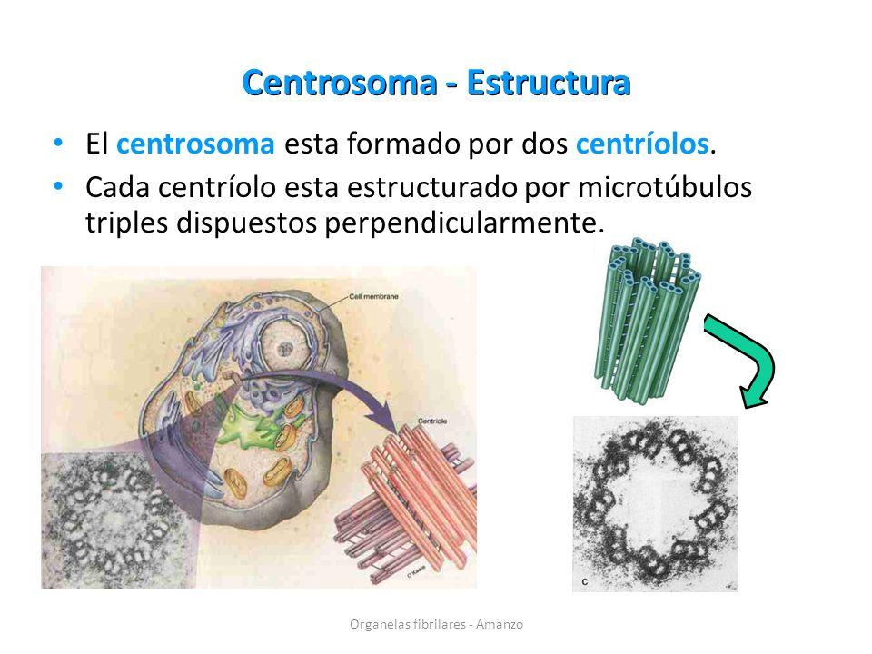 Centrosoma - Estructura El centrosoma esta formado por dos centríolos. Cada centríolo esta estructurado por microtúbulos triples dispuestos perpendicu