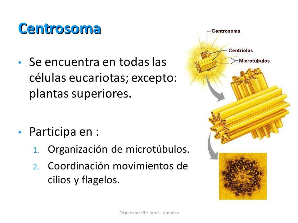 Centrosoma Organelas fibrilares - Amanzo Se encuentra en todas las células eucariotas; excepto: plantas superiores. Participa en : 1. Organización de