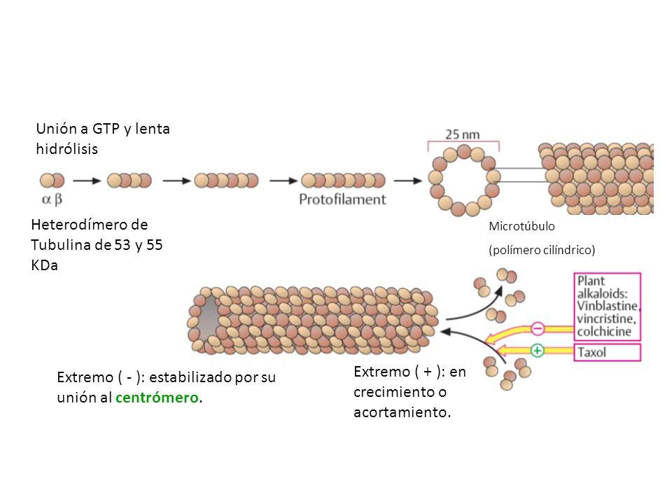 Extremo ( - ): estabilizado por su unión al centrómero. Heterodímero de Tubulina de 53 y 55 KDa Extremo ( + ): en crecimiento o acortamiento. Unión a