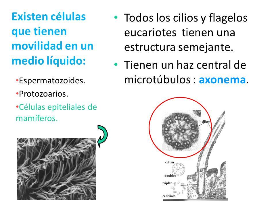 Existen células que tienen movilidad en un medio líquido: Todos los cilios y flagelos eucariotes tienen una estructura semejante. Tienen un haz centra