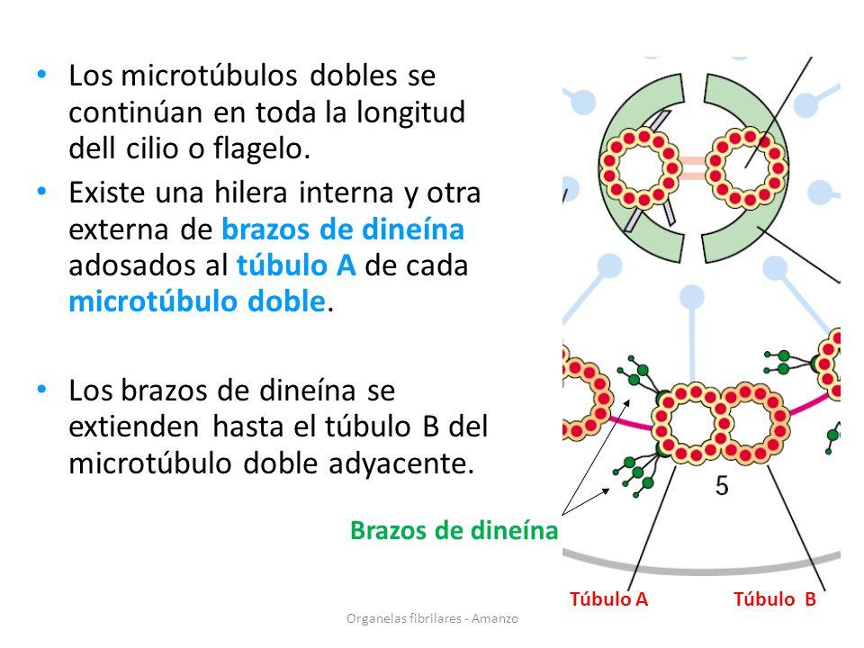 Los microtúbulos dobles se continúan en toda la longitud dell cilio o flagelo. Existe una hilera interna y otra externa de brazos de dineína adosados
