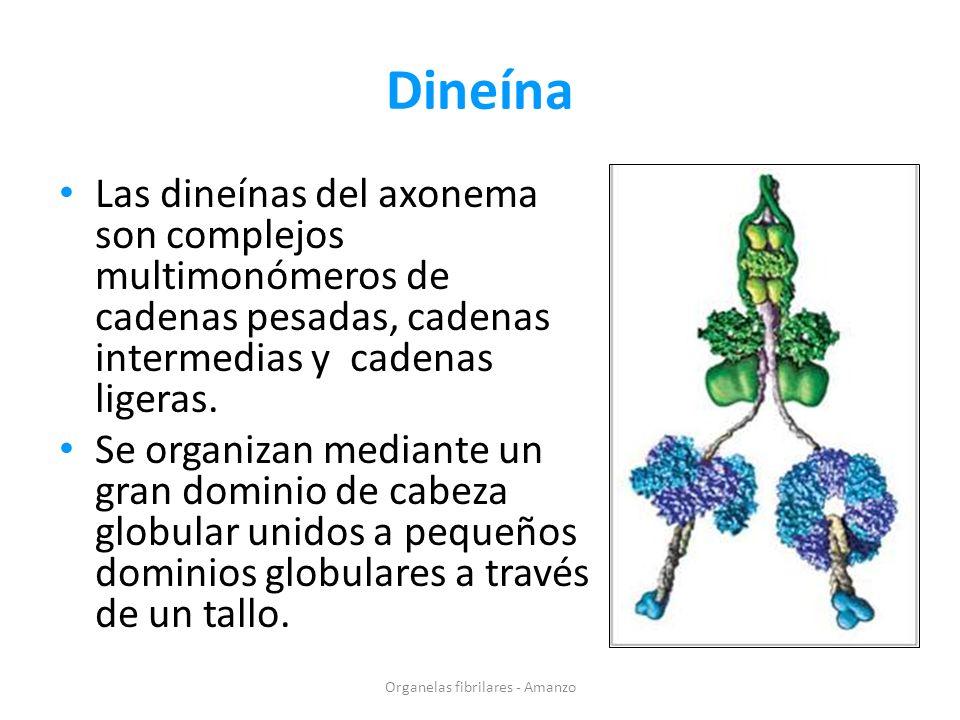 Dineína Las dineínas del axonema son complejos multimonómeros de cadenas pesadas, cadenas intermedias y cadenas ligeras. Se organizan mediante un gran