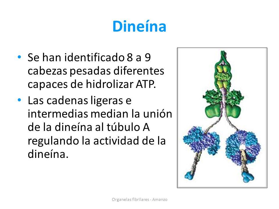 Dineína Se han identificado 8 a 9 cabezas pesadas diferentes capaces de hidrolizar ATP. Las cadenas ligeras e intermedias median la unión de la dineín