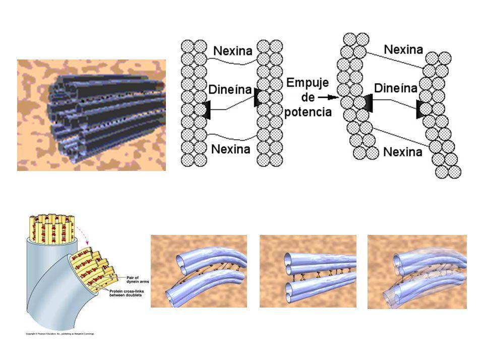 Cilios y flagelos El haz de microtúbulos está rodeado por la membrana celular.