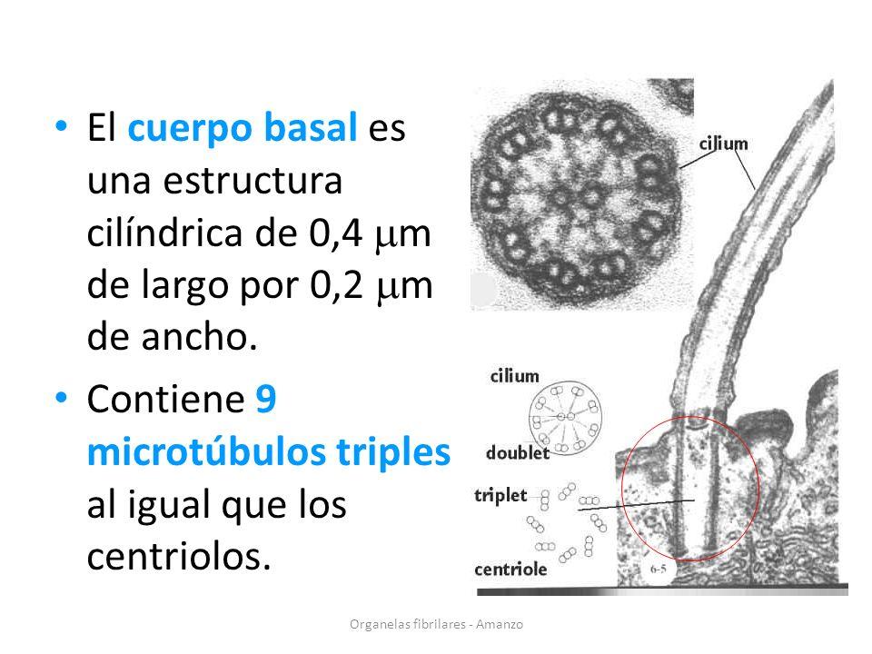 El cuerpo basal es una estructura cilíndrica de 0,4 m de largo por 0,2 m de ancho. Contiene 9 microtúbulos triples al igual que los centriolos. Organe