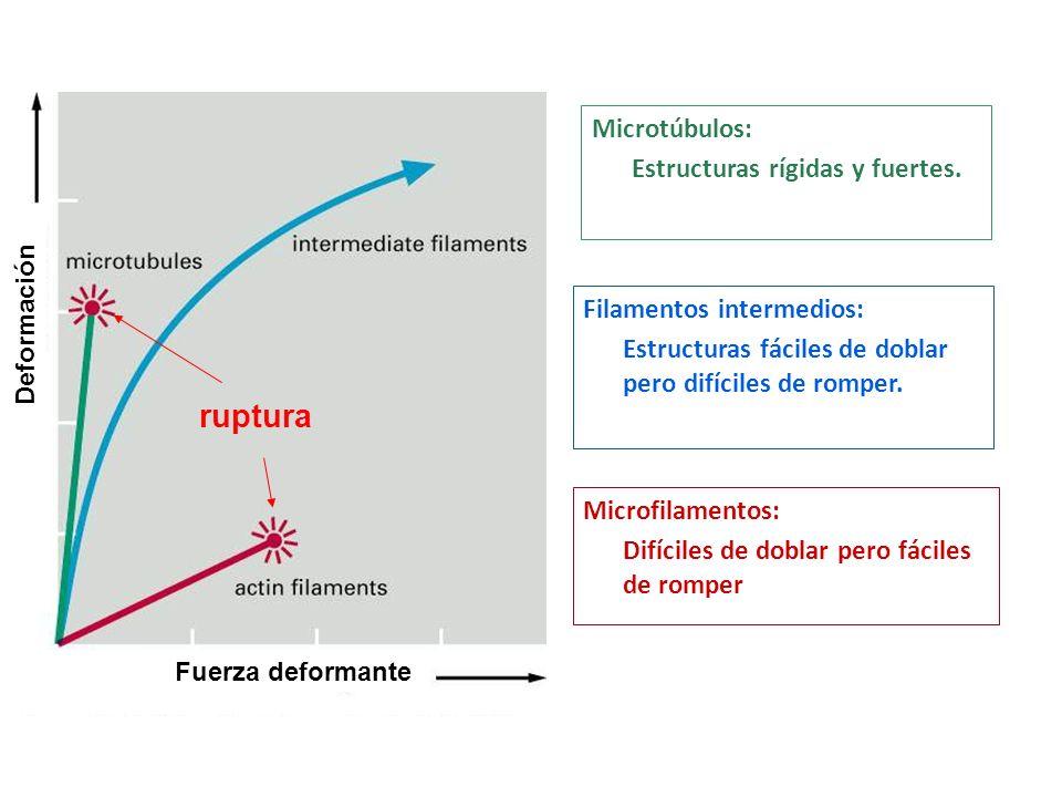 Filamentos intermedios MicrotúbulosMicrofilamentos