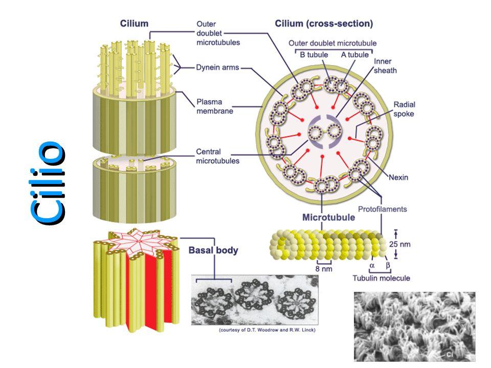 Cilios Son orgánulos de apariencia capilar en las superficies de muchas células animales y vegetales.