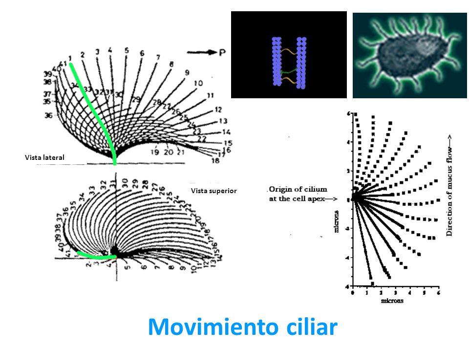Movimiento ciliar Vista lateral Vista superior
