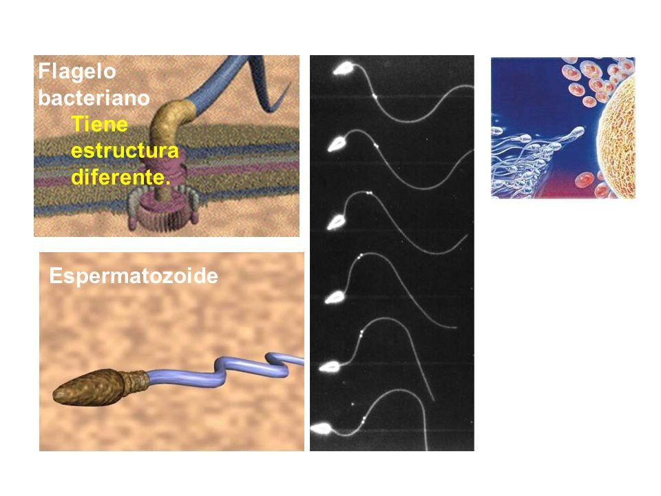 Flagelo bacteriano Tiene estructura diferente. Espermatozoide