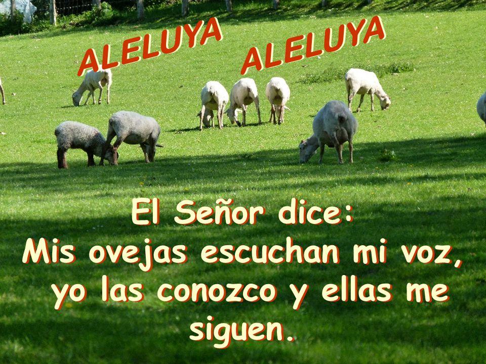 ALELUYA El Señor dice: Mis ovejas escuchan mi voz, yo las conozco y ellas me siguen.