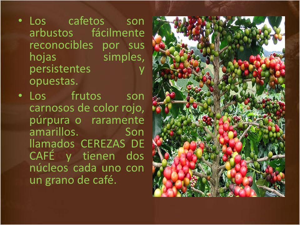 Estructura del fruto y del grano de un cafeto 1: corte central 2: grano de café 3: piel plateada 4: pergamino 5: capa de pectina 6: pulpa 7: piel exterior