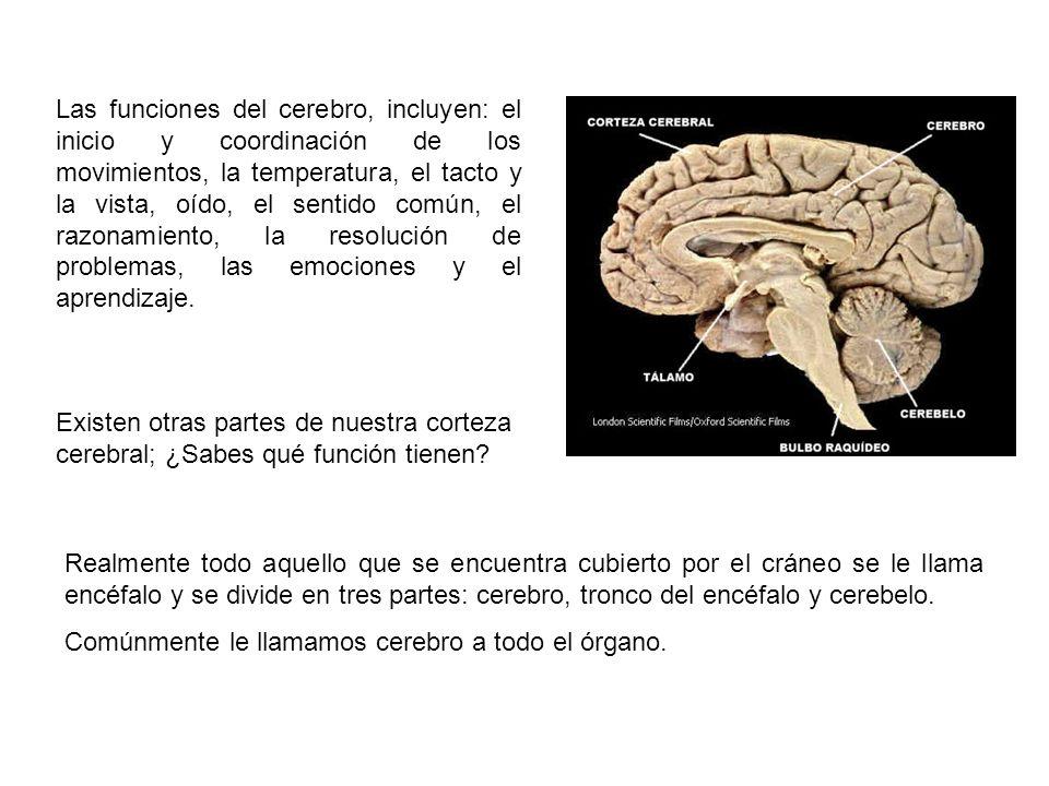 Las funciones del cerebro, incluyen: el inicio y coordinación de los movimientos, la temperatura, el tacto y la vista, oído, el sentido común, el razo