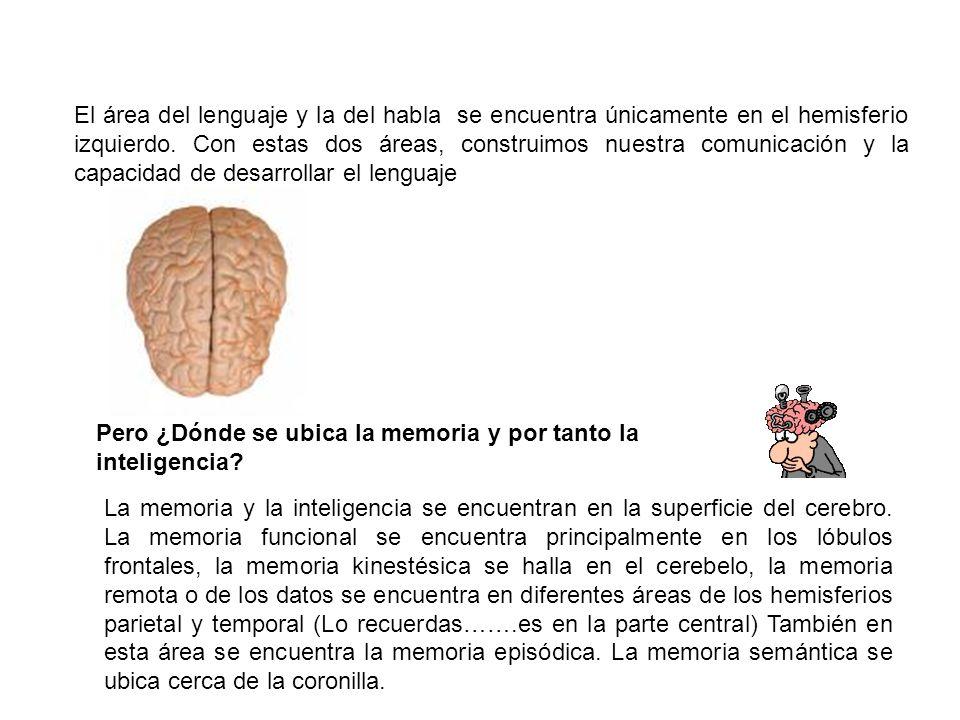 El área del lenguaje y la del habla se encuentra únicamente en el hemisferio izquierdo. Con estas dos áreas, construimos nuestra comunicación y la cap