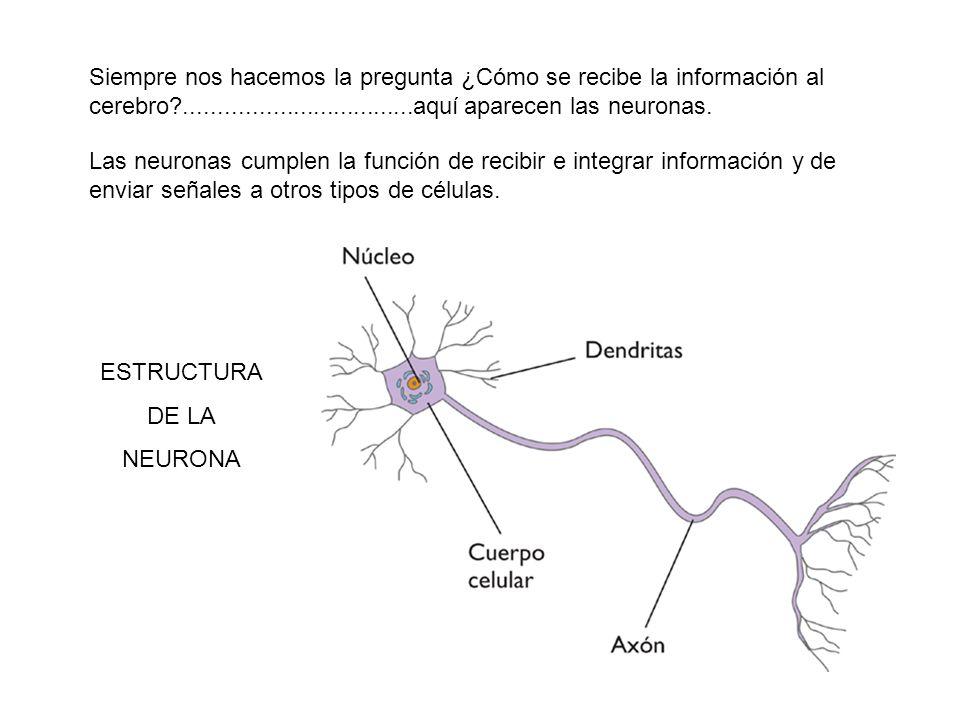 Siempre nos hacemos la pregunta ¿Cómo se recibe la información al cerebro?..................................aquí aparecen las neuronas. Las neuronas c