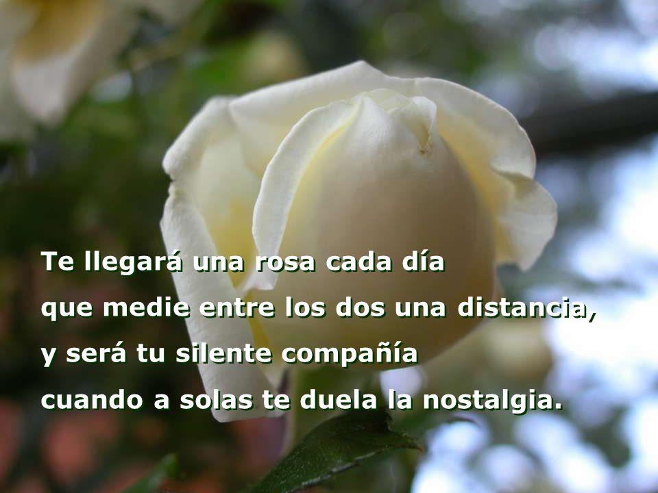 Te llegará una rosa cada día que medie entre los dos una distancia, y será tu silente compañía cuando a solas te duela la nostalgia.