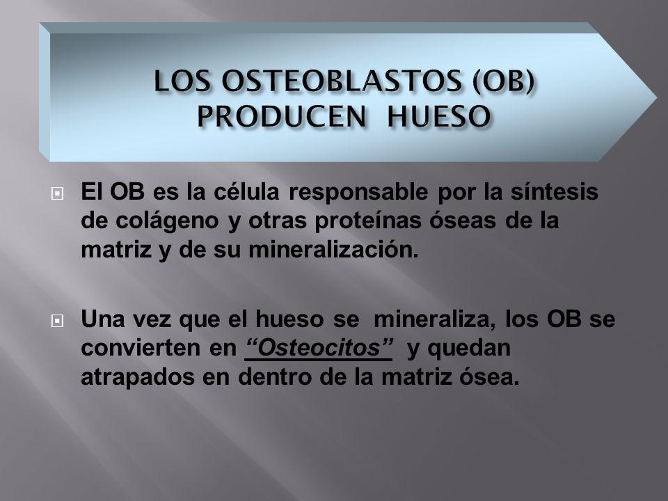 El OB es la célula responsable por la síntesis de colágeno y otras proteínas óseas de la matriz y de su mineralización. Una vez que el hueso se minera