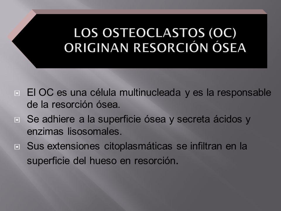 El OC es una célula multinucleada y es la responsable de la resorción ósea. Se adhiere a la superficie ósea y secreta ácidos y enzimas lisosomales. Su
