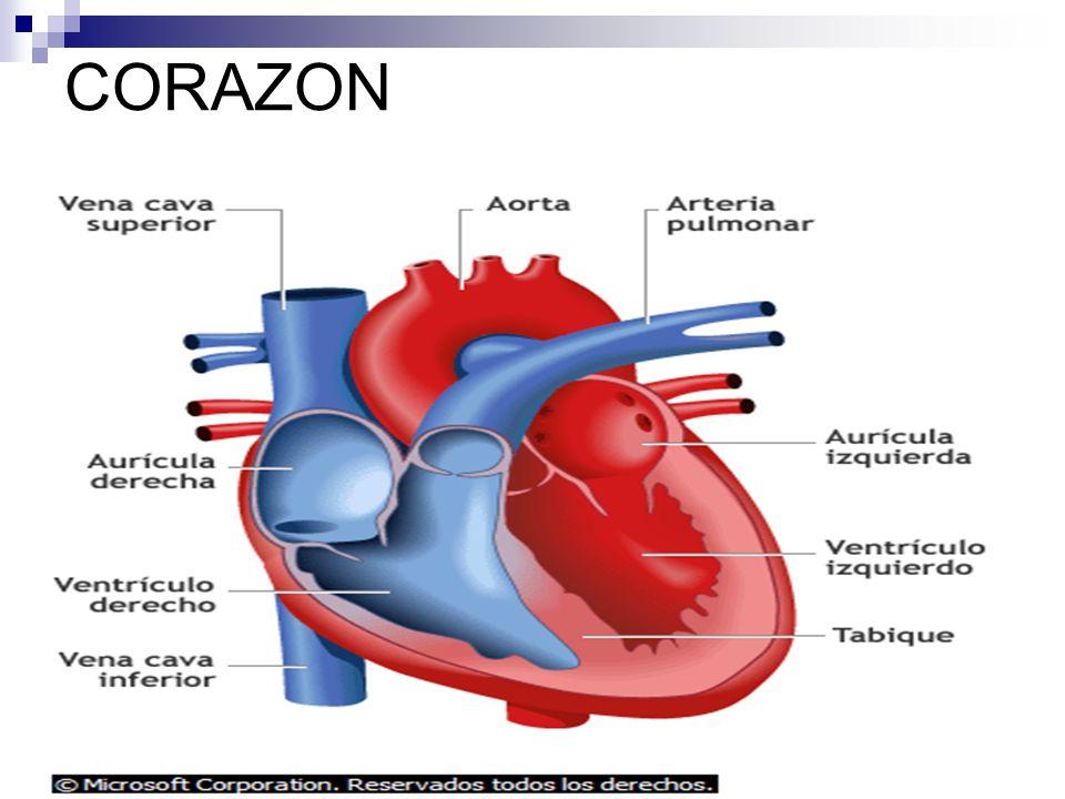 CORAZON CIRCUITO CARDIOPULMONAR