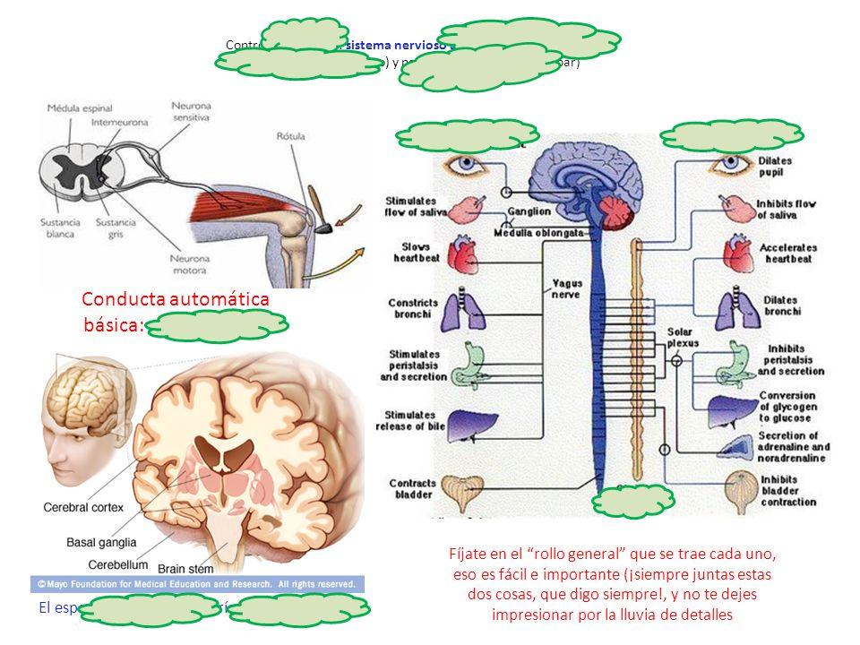 http://pacotraver.files. wordpress.com/2009/0 3/sistema-nervioso.jpg Control automático: sistema nervioso autónomo (= vegetativo): simpático (craneo-s