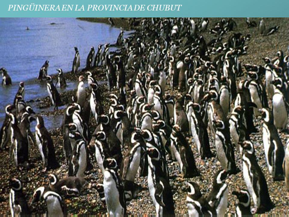 PINGÜINERA EN LA PROVINCIA DE CHUBUT