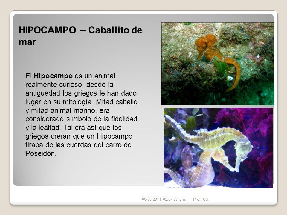 HIPOCAMPO – Caballito de mar El Hipocampo es un animal realmente curioso, desde la antigüedad los griegos le han dado lugar en su mitología. Mitad cab