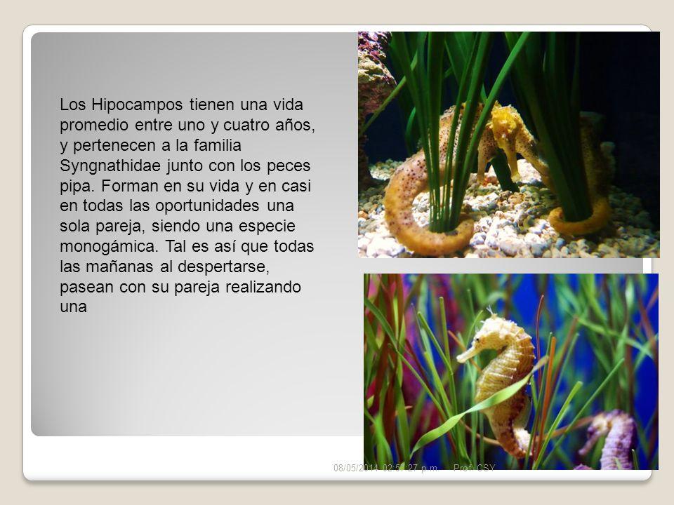 Los Hipocampos tienen una vida promedio entre uno y cuatro años, y pertenecen a la familia Syngnathidae junto con los peces pipa. Forman en su vida y