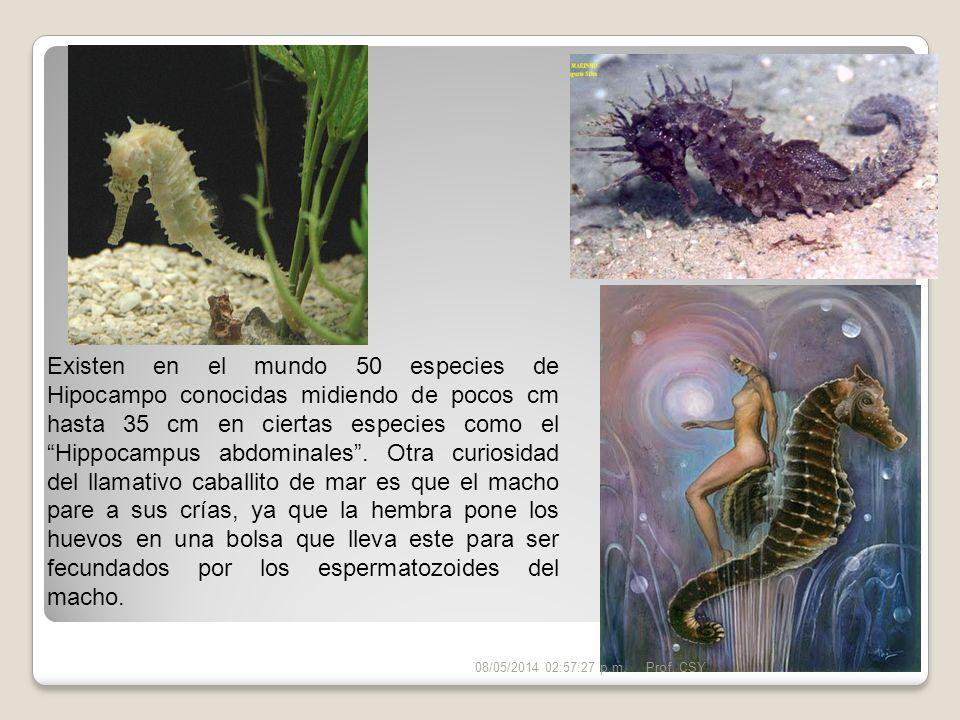 Existen en el mundo 50 especies de Hipocampo conocidas midiendo de pocos cm hasta 35 cm en ciertas especies como el Hippocampus abdominales. Otra curi