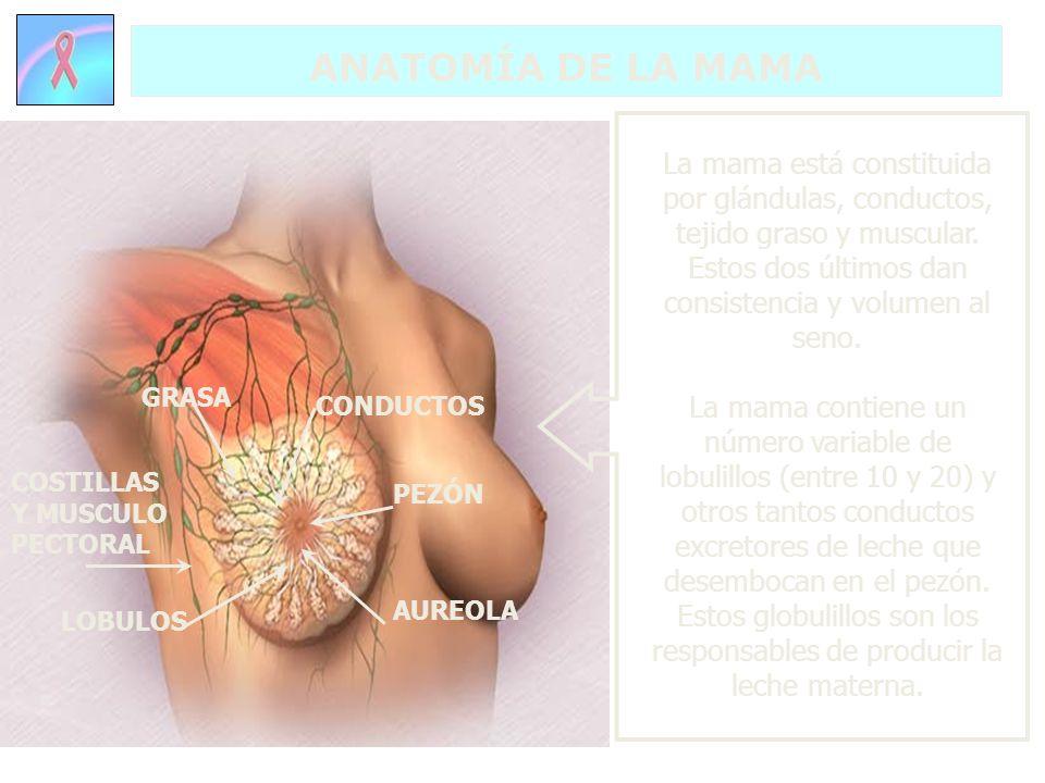 ANATOMÍA DE LA MAMA COSTILLAS Y MUSCULO PECTORAL La mama está constituida por glándulas, conductos, tejido graso y muscular. Estos dos últimos dan con