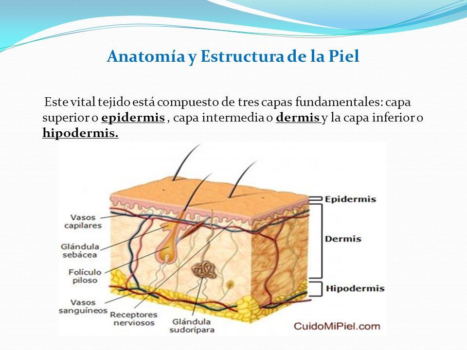 Anatomía y Estructura de la Piel Este vital tejido está compuesto de tres capas fundamentales: capa superior o epidermis, capa intermedia o dermis y l