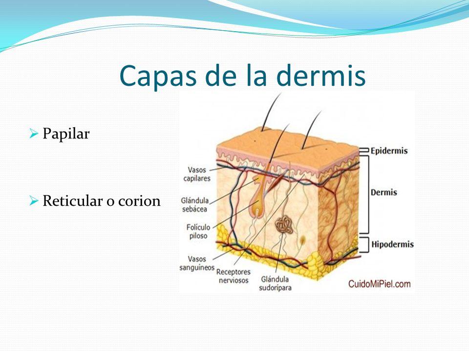 Capas de la dermis Papilar Reticular o corion