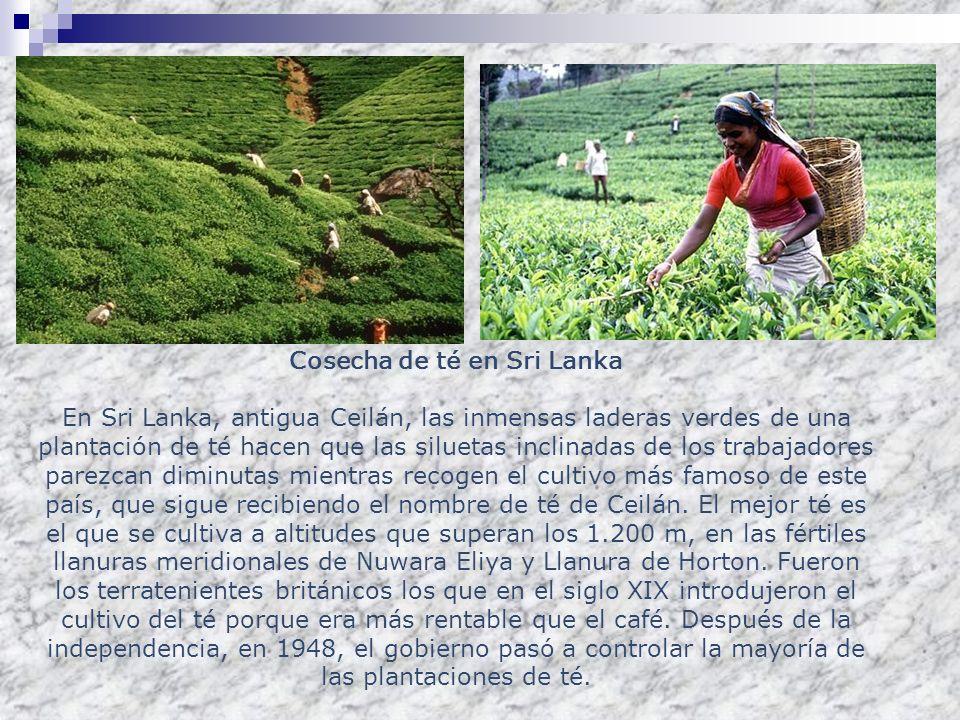 Cosecha de té en Sri Lanka En Sri Lanka, antigua Ceilán, las inmensas laderas verdes de una plantación de té hacen que las siluetas inclinadas de los