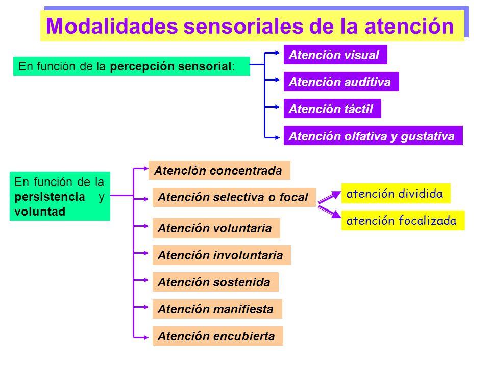 3. RED ATENCIONAL POSTERIOR –Áreas del tálamo y corteza parietal posterior –Lóbulos temporales inferiores Orientada a contenidos de memoria (Atención