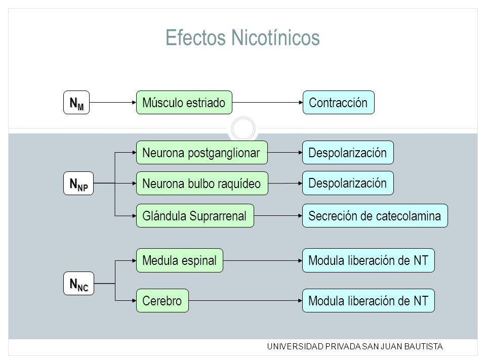 UNIVERSIDAD PRIVADA SAN JUAN BAUTISTA Efectos Nicotínicos NMNMNMNM N NP N NC Músculo estriado Contracción Neurona postganglionar Neurona bulbo raquíde