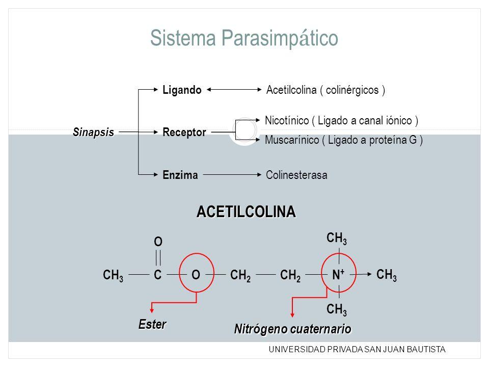 UNIVERSIDAD PRIVADA SAN JUAN BAUTISTA Sistema Parasimp á tico Sinapsis Ligando Acetilcolina ( colinérgicos ) Enzima Receptor Colinesterasa Nicotínico