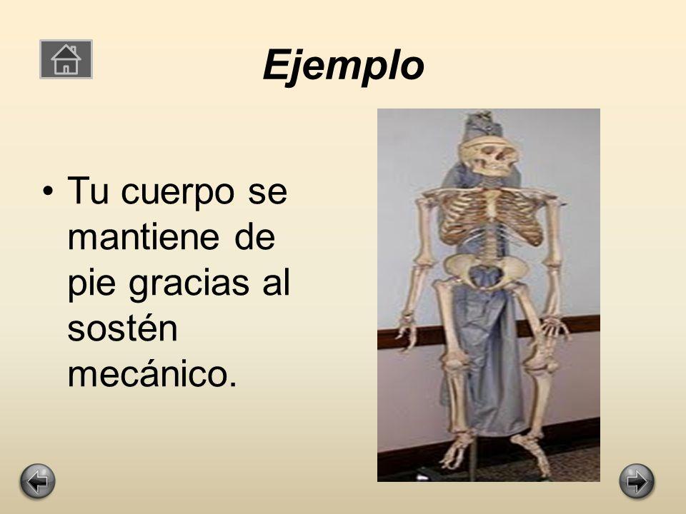 Sostén mecánico Sostén mecánico del cuerpo y de sus partes blandas: funcionando como armazón que mantiene la morfología corporal.