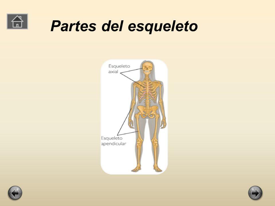 División del esqueletoDivisión del esqueleto