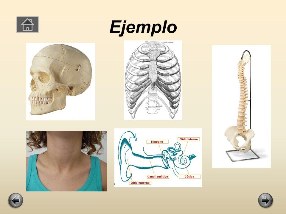 El Esqueleto Axial Son los huesos que soportan el peso del cuerpo como la columna vertebral.
