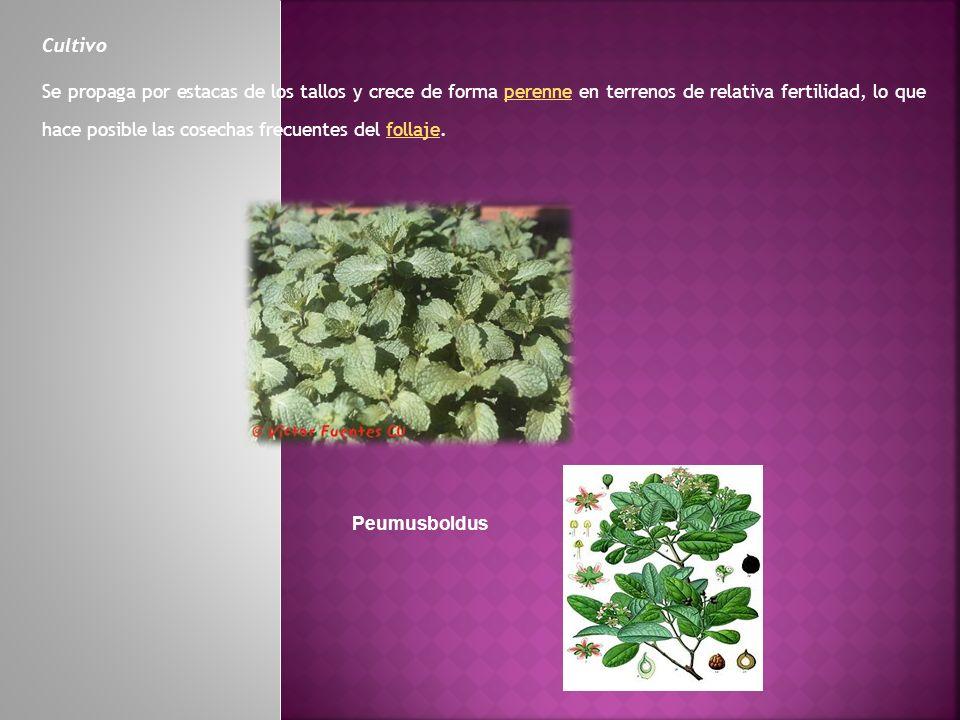 Cultivo Se propaga por estacas de los tallos y crece de forma perenne en terrenos de relativa fertilidad, lo que hace posible las cosechas frecuentes